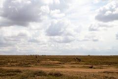 De ijver verblindt binnen van zebras in Serengeti, Tanzania royalty-vrije stock afbeeldingen