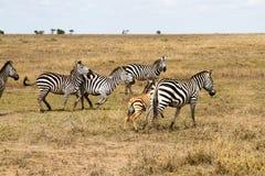De ijver verblindt binnen van zebras in Serengeti, Tanzania royalty-vrije stock foto