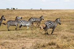De ijver of verblindt binnen van zebras in Serengeti, Tanzania royalty-vrije stock foto