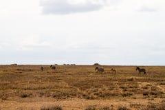 De ijver of verblindt binnen van zebras in Serengeti, Tanzania stock foto