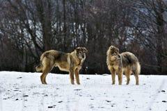 De Ijzige sheepfoldhonden in sneeuw Stock Foto