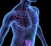 De illustratie mannelijk menselijk lichaam en skelet van de röntgenstraal Stock Afbeeldingen