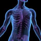 De illustratie mannelijk menselijk lichaam en skelet van de röntgenstraal Stock Foto