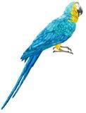 De illustratie van blauwe en gele ara Royalty-vrije Stock Afbeeldingen