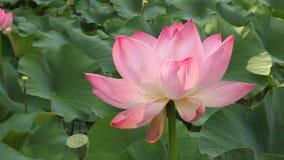 De illustratie van de bloemZen van Lotus stock footage