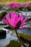 De illustratie van de bloemZen van Lotus Royalty-vrije Stock Afbeelding