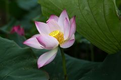 De illustratie van de bloemZen van Lotus Stock Foto's
