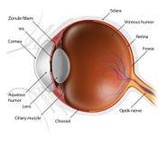 Menselijke oogappel Stock Afbeeldingen