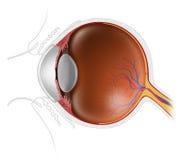 Menselijke oogappel Stock Foto