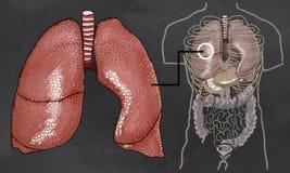 De Illustratie van de longenanatomie met Torso Stock Fotografie