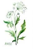 De illustratie van de waterverf van Anijsplant Stock Foto