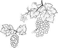 De illustratie van druiven en doorbladert Royalty-vrije Stock Fotografie