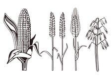 De illustratie van graangewassen Stock Afbeelding