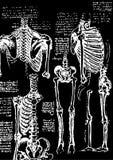 De illustratie van het skelet Stock Illustratie
