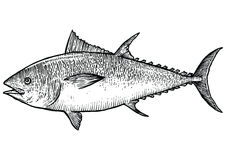 De illustratie van tonijnvissen, tekening, gravure, realistische lijnkunst, Stock Foto's