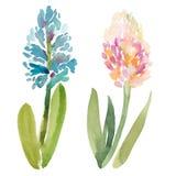 De illustratie van de waterverfschets van twee hyacintbloemen Royalty-vrije Stock Foto's