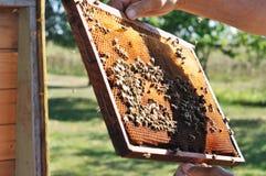 De imker houdt kader met honingraat en bijen boven geopende bijenkorf Stock Foto's
