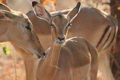 De Impala van de baby Stock Foto