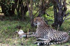 De impala wordt gevangen Spoedig lunch Masai Mara, Kenia royalty-vrije stock afbeelding