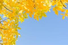 De Indische bladeren van de de zomer gouden gele herfst over duidelijke blauwe hemel Stock Foto