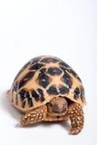 De Indische die Schildpad van de Ster (Geochelone elegans) op witte rug wordt geïsoleerd? royalty-vrije stock foto