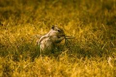 De Indische Eekhoorn van de Palm royalty-vrije stock afbeelding