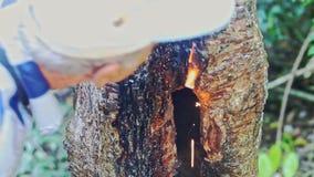 De Indische Gids toont Boomhoogte het Branden aan Toeristen in Park stock footage