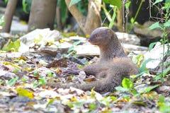 De Indische grijze mongoes stock foto
