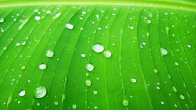 De Indische installatie van het banaan groene blad royalty-vrije stock afbeelding