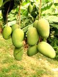 De Indische Jamaicaanse Mango's van het oosten Royalty-vrije Stock Foto