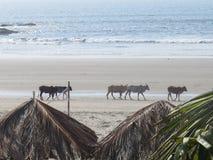 De Indische koeien lopen langs de kust van Morjim in Northem Goa, India stock foto's