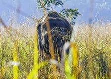 De Indische olifant is één van drie erkende ondersoorten van de Aziatische olifant en de inwoner aan vasteland Azië - Jim Corbett stock foto's