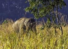De Indische olifant is één van drie erkende ondersoorten van de Aziatische olifant en de inwoner aan vasteland Azië - Jim Corbett royalty-vrije stock afbeelding