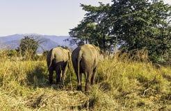 De Indische olifant is één van drie erkende ondersoorten van de Aziatische olifant en de inwoner aan vasteland Azië - Jim Corbett stock afbeelding