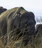 De Indische olifant is één van drie erkende ondersoorten van de Aziatische olifant en de inwoner aan vasteland Azië - Jim Corbett royalty-vrije stock afbeeldingen