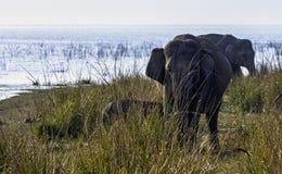 De Indische olifant is één van drie erkende ondersoorten van de Aziatische olifant en de inwoner aan vasteland Azië - Jim Corbett royalty-vrije stock foto
