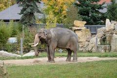 De Indische olifant eet hooi Stock Afbeeldingen