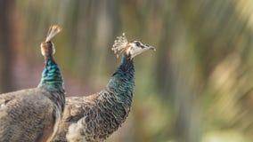 De Indische Pauwinnen sluiten omhoog van halzen royalty-vrije stock foto