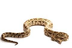 De Indische Python van de Rots Royalty-vrije Stock Afbeeldingen