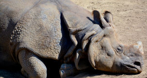 De Indische rinoceros Stock Afbeeldingen