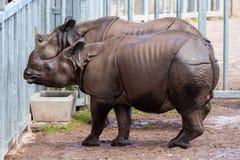 De Indische Rinoceros, die lichaam zoals pantser bezitten, zijn huid is een hoogst distinctief kenmerk stock afbeeldingen