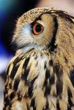 De Indische Uil van Eagle (bengalensis Bubo) royalty-vrije stock foto