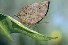De Indische Vlinder van het Blad Royalty-vrije Stock Afbeeldingen