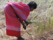 De Indische vrouw gebruikt een sikkel om sesamzaad te oogsten Royalty-vrije Stock Foto's
