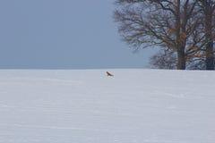 De indrukken van de winter met vos Stock Afbeelding