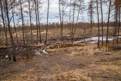 De industriële geplande ontbossing in de lente, verse els ligt op de grond onder de stompen stock afbeeldingen