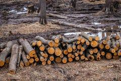De industriële geplande ontbossing in de lente, verse els ligt op de grond onder de stompen stock fotografie