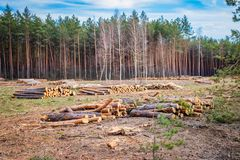 De industriële geplande ontbossing in de lente, verse groene pijnboom ligt op de grond amid stompen stock afbeeldingen