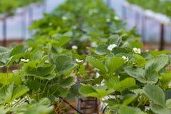 De industriële groei van aardbeien, de rij van de hydrocultuuraardbei binnen stock afbeeldingen