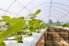 De industriële groei van aardbeien, de rij van de hydrocultuuraardbei binnen stock afbeelding